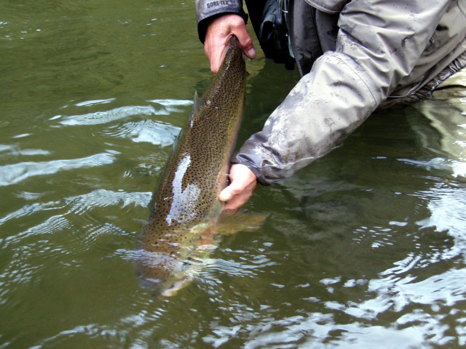Steelhead photos for Mckenzie river fishing