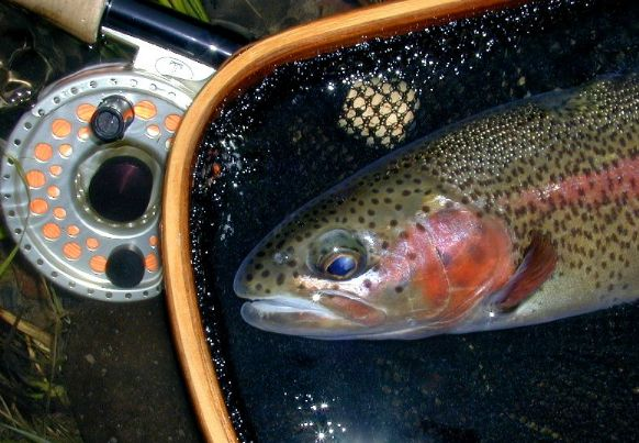 McKenzie native rainbow / McKenzie River fly fishing / McKenzie River fly fishing guide